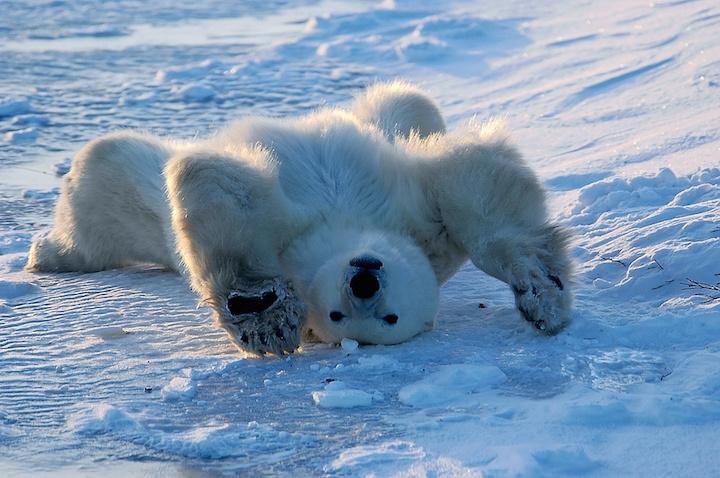 Polar Bear Waking Up, Churchill, Manitoba, Canada
